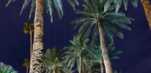 Palm trees at Furnace Creek Inn.